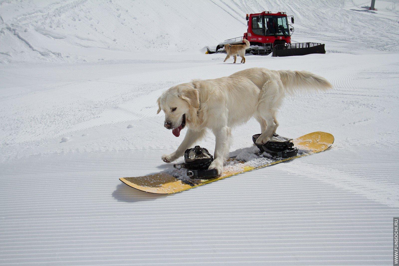 коты сноубордисты фото неудержимым пылом, резкими