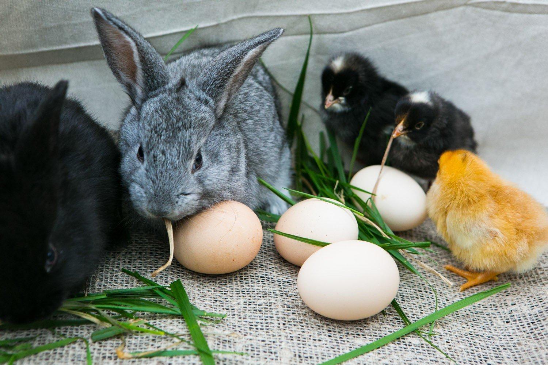 Цыпленок и кролик картинка