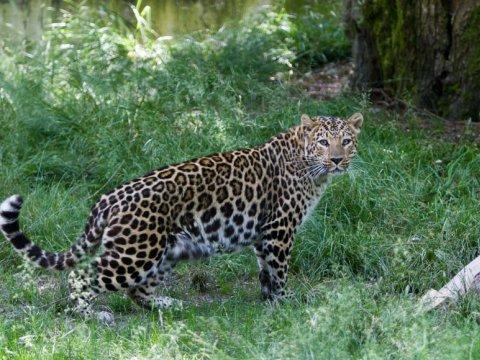 Леопард в Вольерном комплексе в Красной Поляне